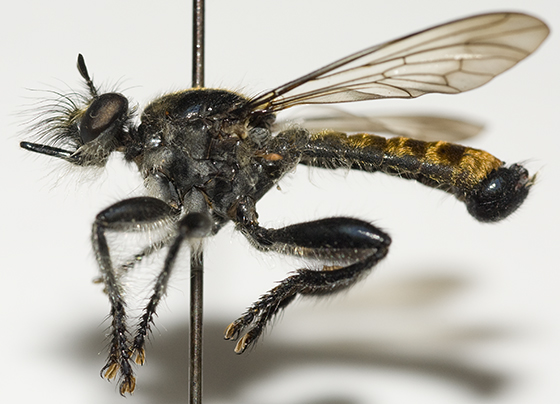Bee-like Robber Fly - Laphria index - male