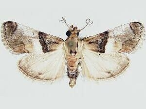 Toripalpus breviornatalis - Hodges #5584 - Toripalpus breviornatalis - male