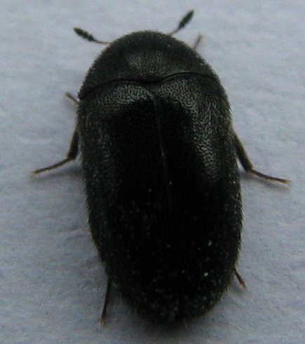 how to get rid of black carpet beetle