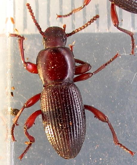 Red-legged teneb - Argoporis rufipes - male - female