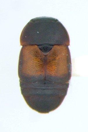 Colopterus semitectus