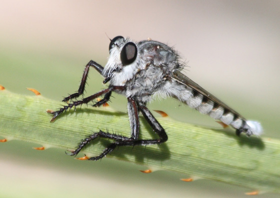 Giant Robber Fly - Promachus nigrialbus