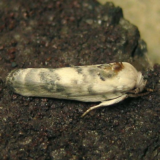 Pale Gray Birddropping Moth - Antaeotricha leucillana
