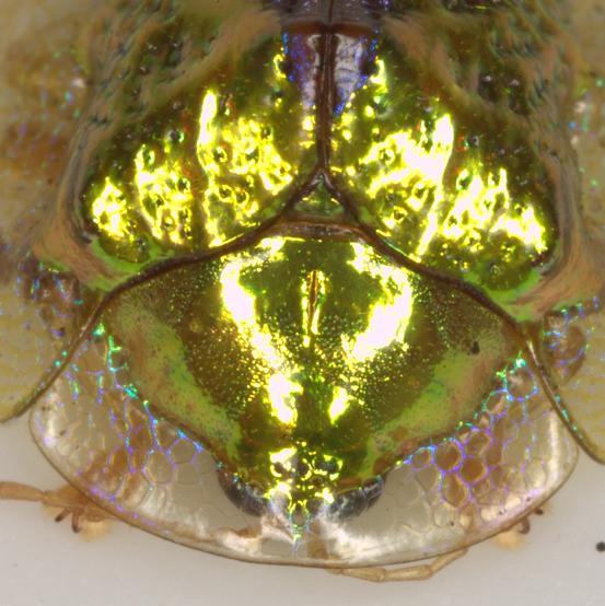 Anacua Tortoise Beetle - Coptocycla texana