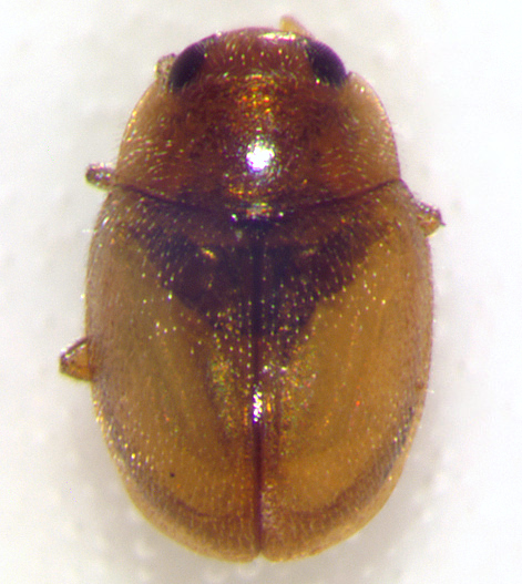 Nephus intrusus, dorsal - Nephus intrusus