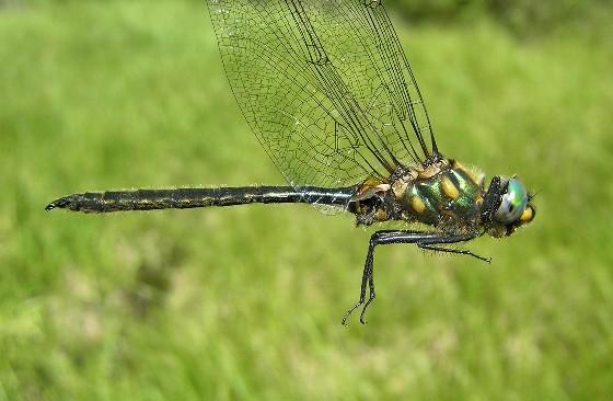 Mountain Emerald - Somatochlora semicircularis - male