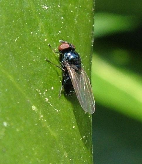 Small Metallic Blue Fly