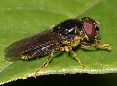 Fly covered in pollen - Cheilosia - male