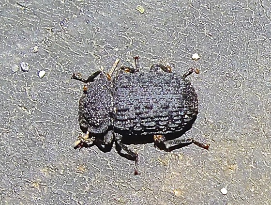 Fungus Beetle? - Bolitophagus corticola