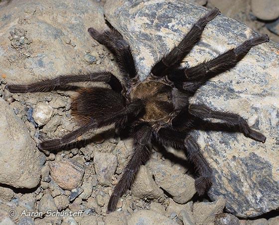 A California Tarantula - Aphonopelma iodius - male