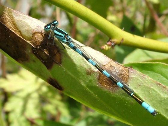 What species am I? - Enallagma carunculatum - male