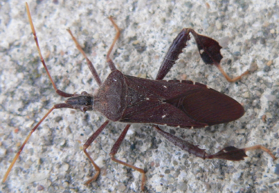 Leaf-footed bug - Leptoglossus oppositus