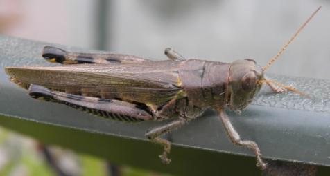 grasshopper - Melanoplus differentialis - female
