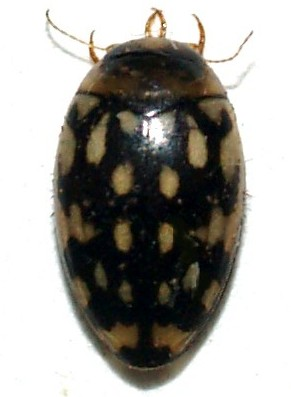 Waterbeetle, Laccophilus sp.? - Laccophilus pictus