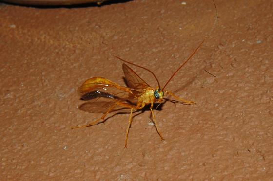 Short-tailed Ichneumon Wasp - Enicospilus