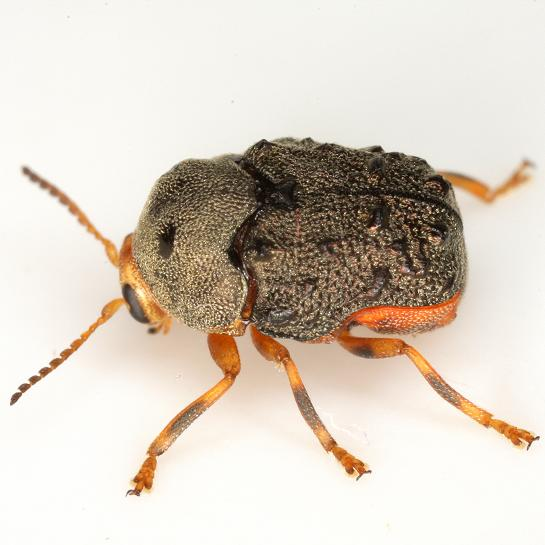 Chlamisus maculipes (Chevrolat) - Chlamisus maculipes