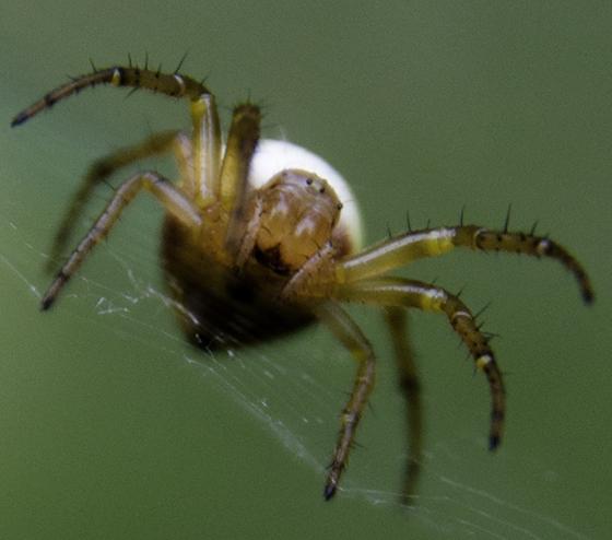 yet another variation of Araniella displicata - Araniella displicata