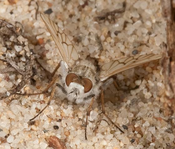 Stiletto Fly - Acrosathe vanduzeei - female