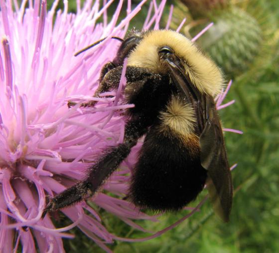 Bumblebee on thistle - Bombus griseocollis - female