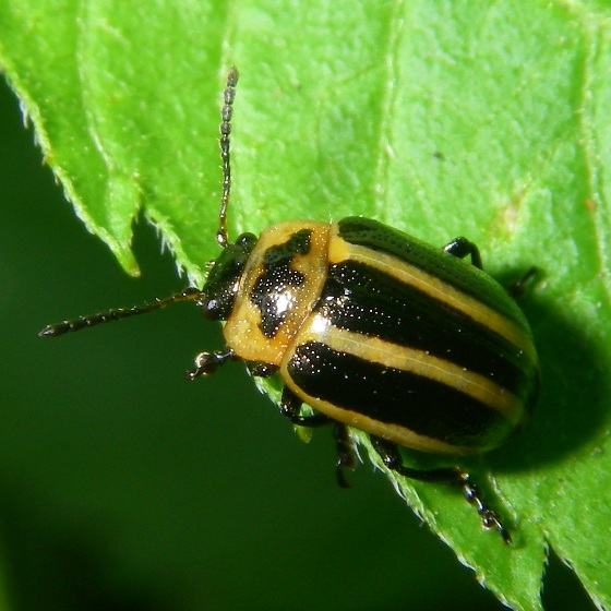 What kind of beetle? - Calligrapha californica