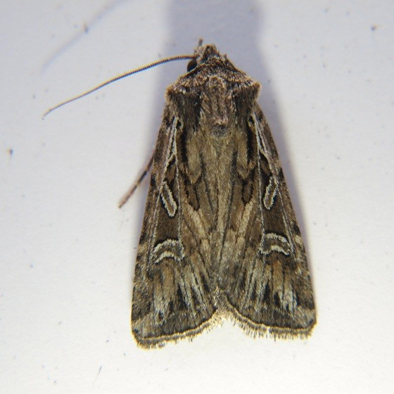 Euxoa olivalis - Hodges #10833 - Euxoa olivalis