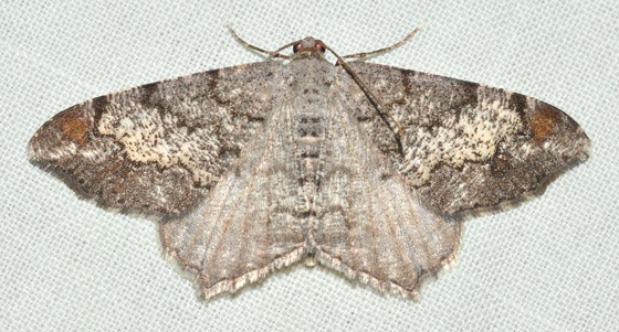 Geometrid moth - Macaria granitata - female