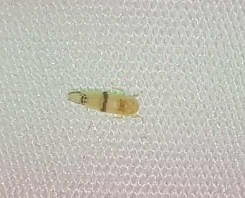 Leafhopper - Empoa casta