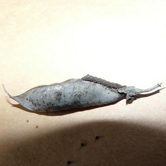 Palthis angulalis  - Palthis angulalis