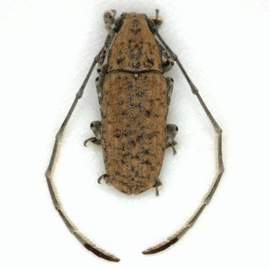 Phoenicobiella schwarzii (Schaeffer) - Phoenicobiella schwarzii - male