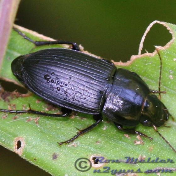 Beetle - Anisodactylus
