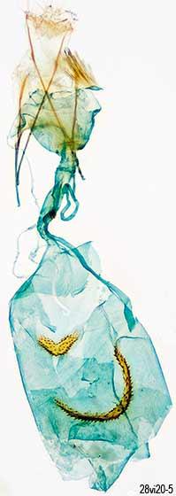 genitalia - Pasiphila rectangulata - female