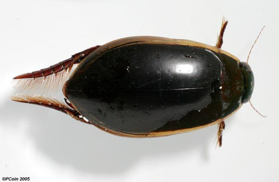 Fringed Diving Beetle - Cybister fimbriolatus - male