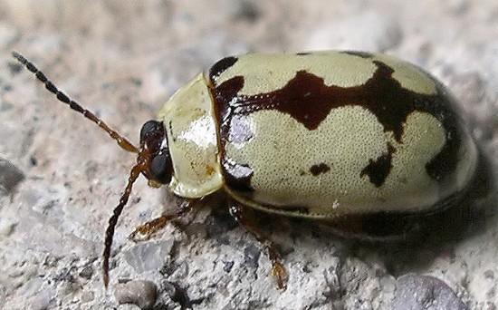 leaf beetle - Alagoasa jacobiana