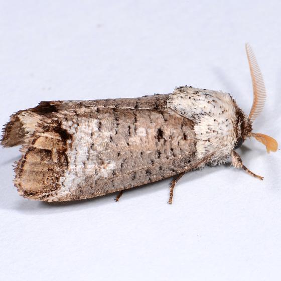 Pecan Carpenterworm Moth - Cossula magnifica