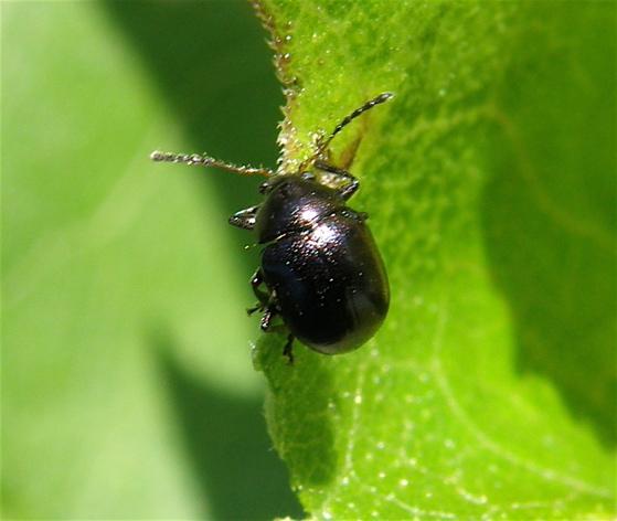 Small Black Beetle   Brachypnoea. Small Black Beetle   Brachypnoea   BugGuide Net