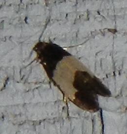 Olethreutinae? - Kearfottia albifasciella