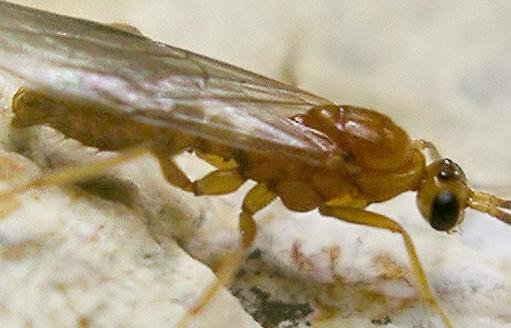 wasp - Leptogenys elongata
