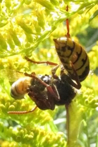 hymenoptera 3 - Vespa crabro - female