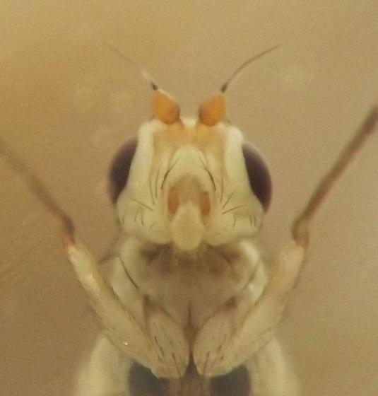Stem dweller, Urtica - Phytomyza flavicornis