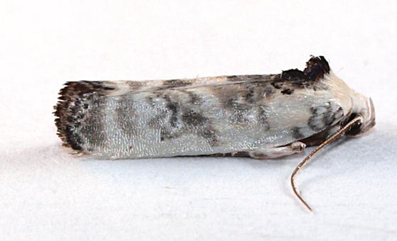 Moth to black light - Antaeotricha