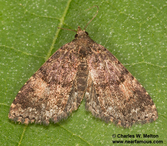 Moth - Metalectra