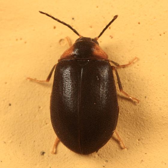black and orange beetle - Ectopria nervosa - female