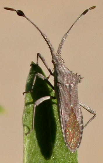 Leaffooted Bug in California (November) - Chariesterus balli