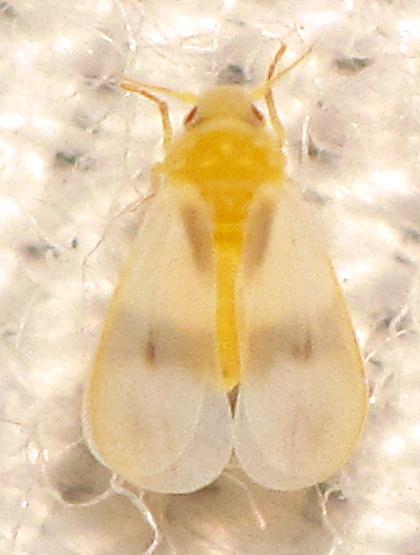 Singhiella simplex