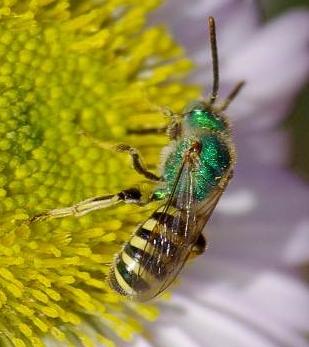 bee seaside daisy - Agapostemon - male