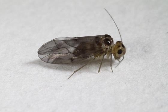 Peripsocus madidus (Hagen) - Peripsocus madidus - female