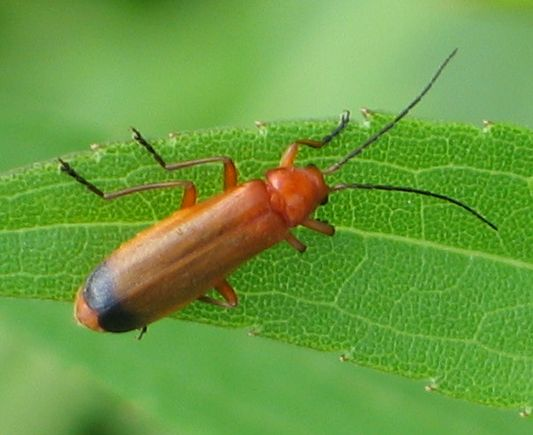 black-tipped orange beetle - Rhagonycha fulva