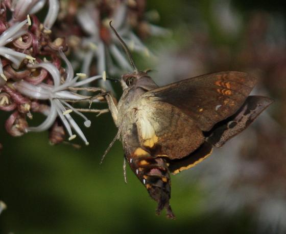 Cuban Sphinx - Eupyrrhoglossum sagra