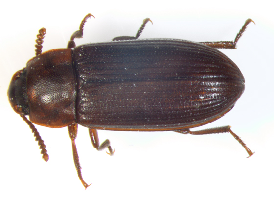 Tenebrionidae, dorsal - Cynaeus angustus