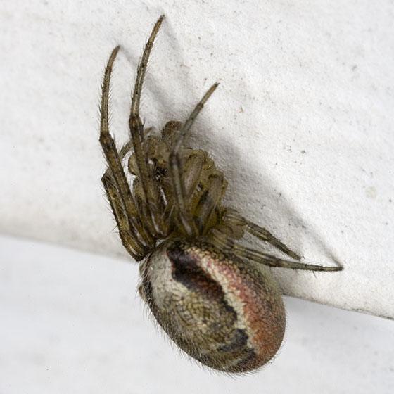 Spider ZH3Z3802 - Zygiella atrica